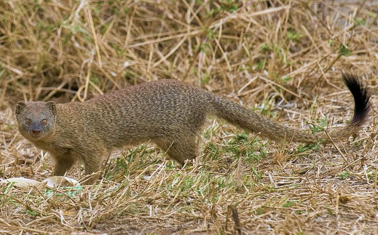 The slender mongoose, with up to fifty subspecies, are found throughout sub-Saharan Africa, with the Black mongoose of Angola and Namibia sometimes considered a separate species. They are adaptable and can live nearly anywhere in this wide range, but are most common in the savannah and semiarid plains. They are much rarer in densely forested areas and deserts.