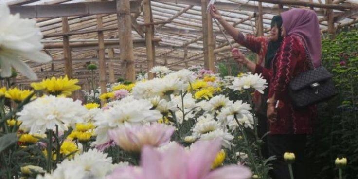 """Akhir Pekan Di Semarang, """"Selfie"""" Di Tengah Kebun Bunga Krisan - http://darwinchai.com/traveling/akhir-pekan-di-semarang-selfie-di-tengah-kebun-bunga-krisan/"""