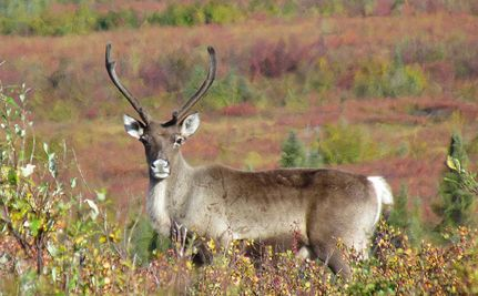 Canada Knows Caribou Could Soon Be Extinct, So it Sells Land to Big Oil Please sign petition and share for signatures