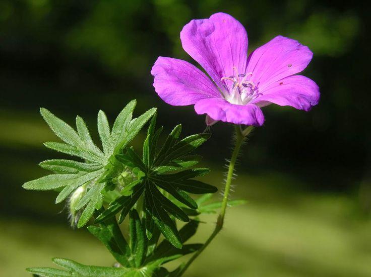 Verikurjenpolvi, Geranium sanguineum - Kukkakasvit - LuontoPortti