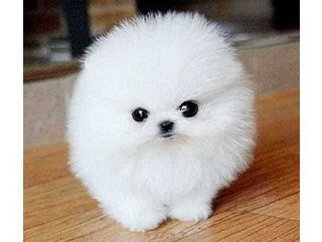 Cheap Micro Teacup Pomeranian Puppies For Sale Pomeranian Puppy Teacup Pomeranian Puppy For Sale Teacup Pomeranian