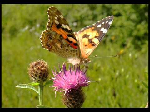 London Symphony Orchestra - A gift of a thistle