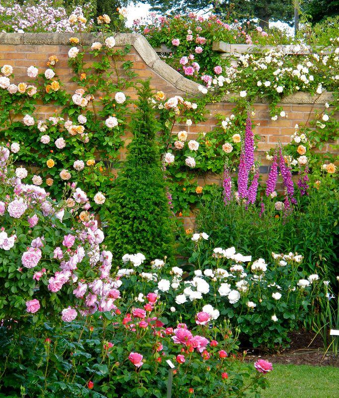 фото цветников с розами остина слой текстурой