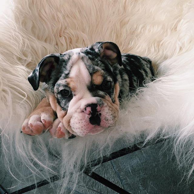 Kylie and Tyga's puppy Rolly! Such a cute english bulldog.