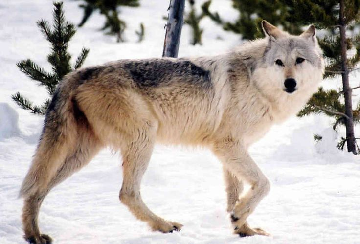 As Gray Wolves Return, So Does Debate Over Hunting : NPR