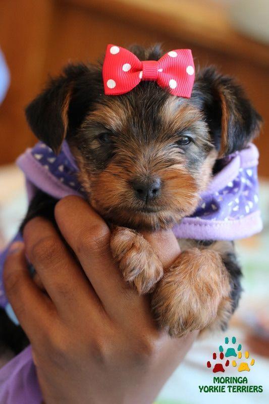 Yorkie Adoption Yorkie Puppies For Sale Healthy Yorkie Puppies Yorkshire Terriers York Yorkie Puppy Yorkie Puppy For Sale Teacup Puppies For Sale