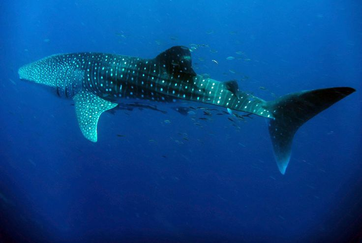 What you need to know about Swimming with Whale Sharks!  #Conservation