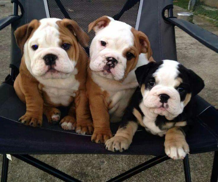 Pin By Bulldog Lover On English Bulldog Bulldog Puppies Puppies Cute Dogs