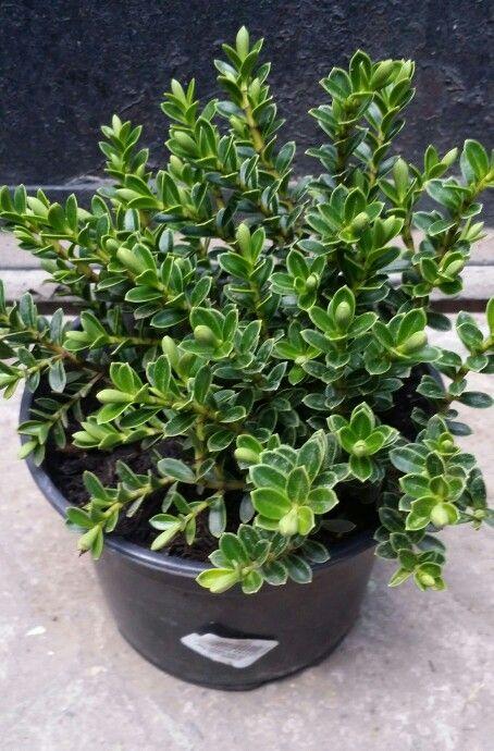 20 best plantas images on pinterest container plants - Plantas de hojas verdes ...
