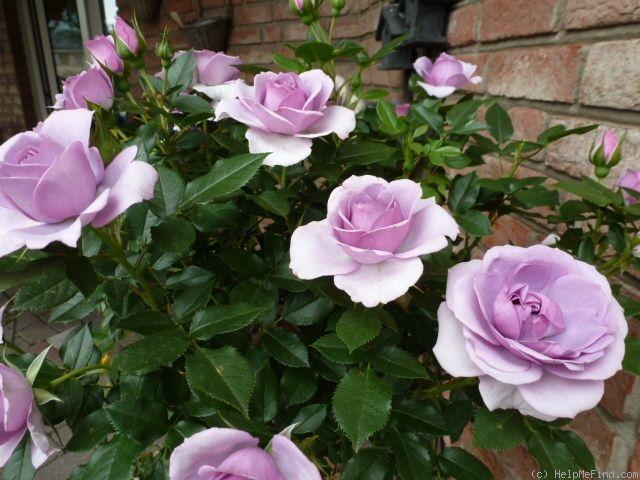 'Lavender Flower Circus' Rose Photo