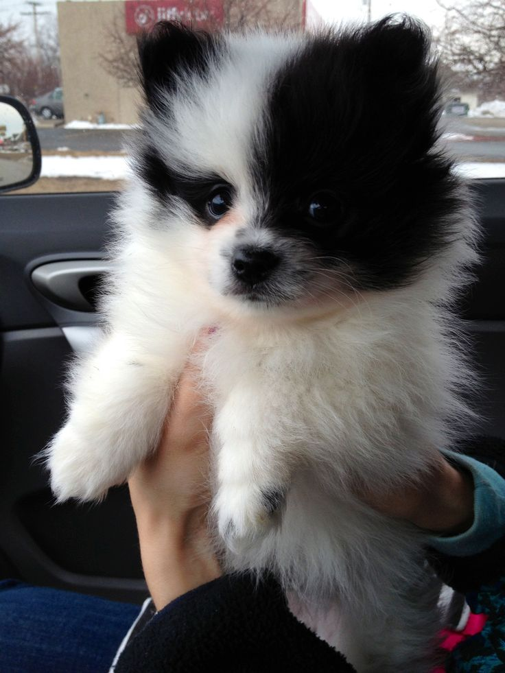 Pomeranian puppy, he's so cute!!