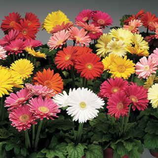 """If you love cutflowers, you MUST grow Gerbera Daisies, and Jaguar Mix is the name you can always rely on for bright blooms and plenty of 'em! This highly uniform mix brings you blooms earlier and more heavily than any other, continuing nonstop all season!You might be wondering what a """"uniform"""" mix is (and whether or not it's a good thing!). In terms of plant varieties, uniformity is a great asset. Many times each color in a given series will bloom at a slightly different time, so you never…"""