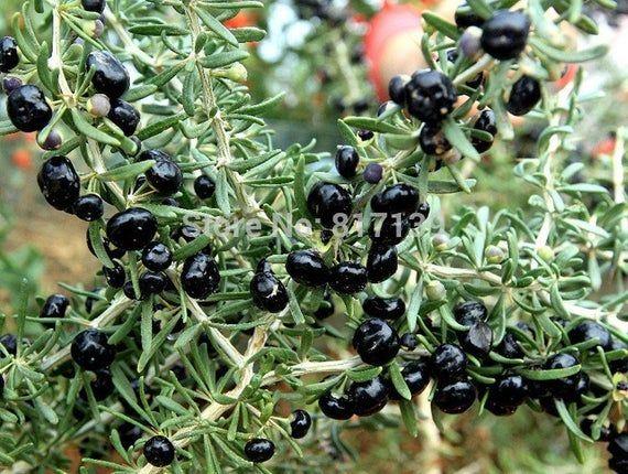 100 Black Goji Berry Wild Lycium Ruthenicum Seeds Rare Plant Not