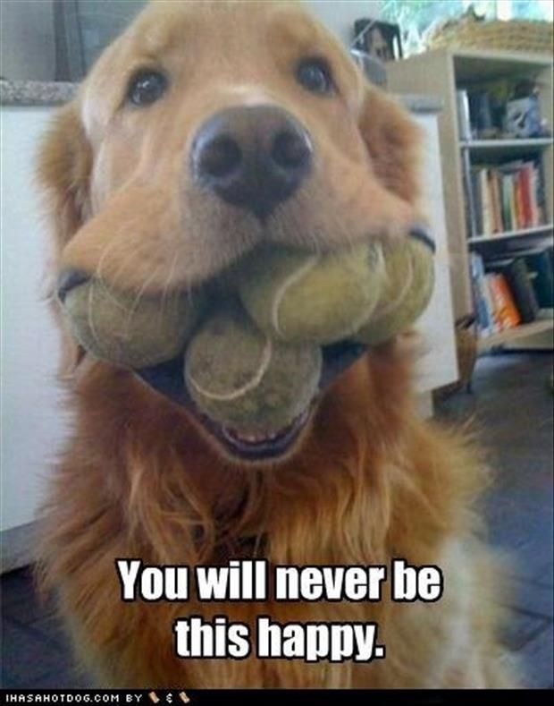 Golden retriever pictures with captions