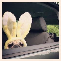 pugsofinstagram: Marley! @jade_mm #pugsofinstagram #pug #easter Volg dat witte konijn ⌚