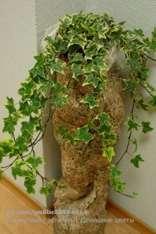 Плющ или хедера неприхотливое ампельное декоративно - лиственное растение? | Всё об интерьере для дома и квартиры