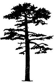 Image result for scots pine