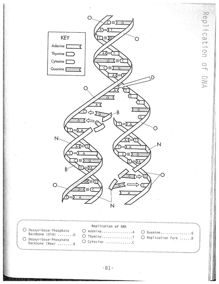 DNA Replication Coloring Worksheet on Dna Coloring