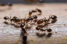 Wussten Sie, dass es einfache Mittel gegen Ameisen im Haus gibt? Diese sind in jedem Haushalt zu finden. Erfahren Sie mehr, wie Sie die Ameisen bekämpfen...