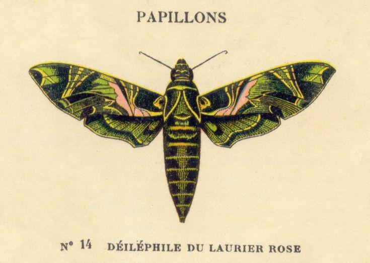 vintage butterfly illustration