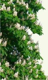 CASTAÑO DE INDIAS http://www.plantas-medicinal-farmacognosia.com/productos-naturales/castaño-de-indias/