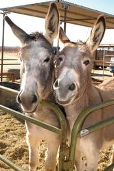 Some sweet faces available for adoption at Peaceful Valley Donkey Rescue in Tehachapi CA.