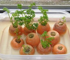 Carrot greens can be regrown from carrot tops. Just put the carrot tops in a dish with little water in it and put it in a room that is well-lit or on a window sill.