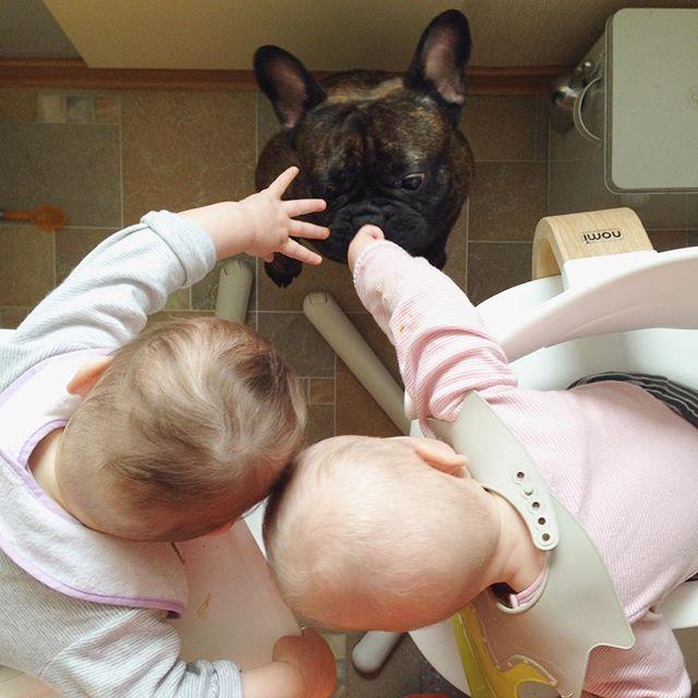 Cookies sharing. Part 3. #sherman #frenchie #bulldog #instafrenchie #home #twins #twinstagram #tvillinger #eugenia_agata #babygirl #nomi #evomove #family