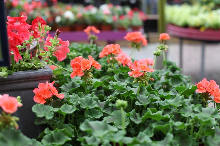 Geranium - great summer colour, perfect for pots and containers. www.thepavilion.ie