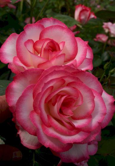 Die besten 25+ Rosen Ideen auf Pinterest Erdbeer-Rosen