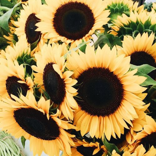sunflowers look like pure sunshine
