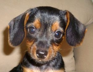 Pebbles is an adoptable Dachshund Dog in Canton, MI. Pebbles is primarily black, and has an even short coat. She is tiny (currently 2 pounds), and looks primarily dachshund. Her date of birth is 4/21/...