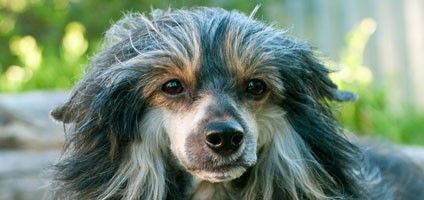 What Causes Hair Loss in Dogs?