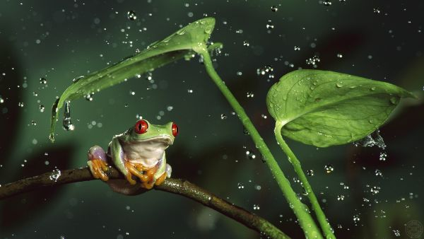 3D Funny Frog Under Big Leafs and Rain Wallpaper http://alliswall.com/3d-and-abstract/3d-funny-frog-wallpaper