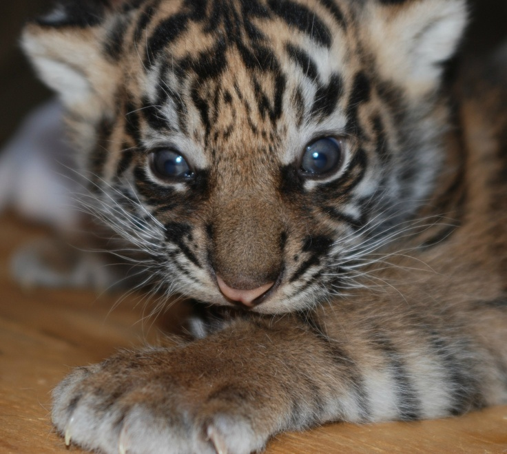 Sacramento Zoo's Sumatran Tiger Cub is Growing Strong!  See photos of little CJ the cub today on ZooBorns.com and at http://www.zooborns.com/zooborns/2013/03/update-sacramento-zoos-sumatran-tiger-cub-growing-strong.html