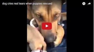 #HeyUnik  Anjing Ini Menangis Ketika Bertemu Dengan Penyelamat Anak-Anaknya #Video #YangUnikEmangAsyik