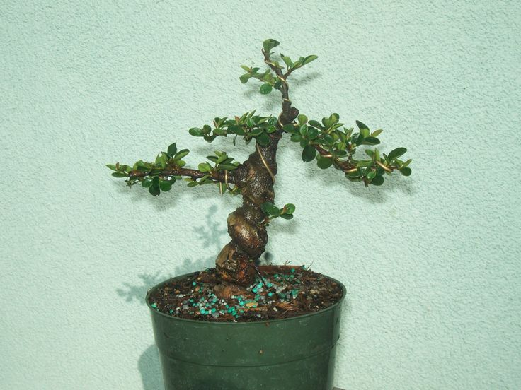 Cotoneaster bonsai stock(7cot530)Nice twisted trunk,branching,shohin size tree! in Home & Garden, Yard, Garden & Outdoor Living, Plants, Seeds & Bulbs | eBay