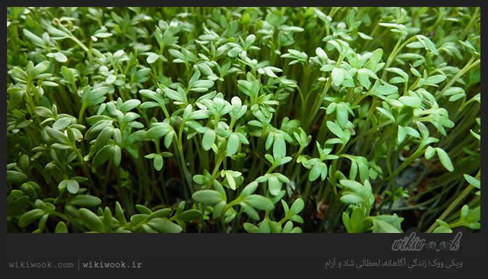 تره تیزک یک نوع سبزی خوردن است که خواص درمانی نیز دارد تره تیزک در طب سنتی به عنوان منبع ویتامین ث معرفی شده است اگر مایلید ا Medicinal