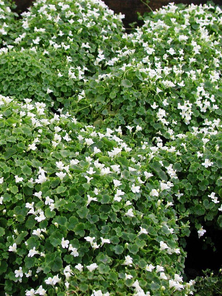 Murreva, Cymbalaria muralis 'Alba' - Små underbara vita blommor med ljusgul fläck i mitten. Ljusgröna blad med rundad form. Krypande växtsätt, sprider sig med långa revor. I de flesta väldränerade ej för näringsrika jordar. Kilar gärna in sig i mursprickor, trappor, klippskrevor. Murreva är en mycket trevlig underplanteringsväxt i krukor och kan snabbt bilda mattor under buskar och små träd. Blommar maj-september.