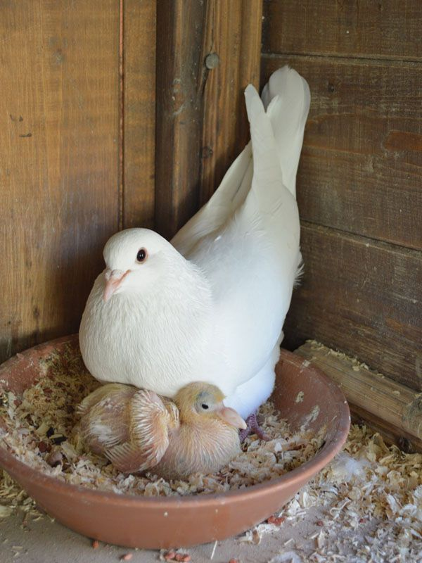 #White Doves #birds #animals --Harmonia & her 2 week old chick sharing a moment - it's my first photo mum is this my good side? It's all happening in the White Petals & Pearls aviary this last couple of weeks.. http://www.whitepetalsandpearls.com