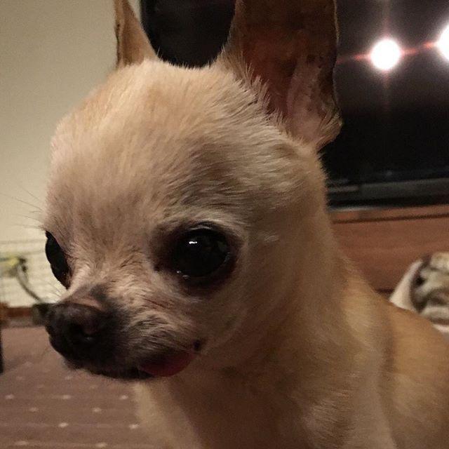 5月3日はチャニとちくわちゃんの15歳のお誕生日🎂🎉今頃、お花畑の中でお祝いしてるかな❤️ #チャニ #チワワ #お誕生日 #instadog #ilovemydog #instachihuahua #cyan #chihuahua #chihuahuagram #dog #dogstagram #birthday #seniordog #seniorchihuahua #シニア犬 #愛犬 #虹の橋 #可愛い #大好き  なるとくん、ちくちゃんとチャニが見守ってるからね😌応援してるよ〜🙏😌
