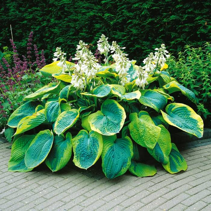 Plantain Lily Hosta sieboldiana Frances Williams - 1 plant Buy online order yours now