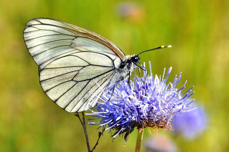 Фото: Butterfly boyarieshnitca. #macro #insects #butterfly #nature Full size…