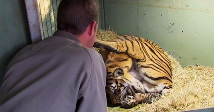 Immagini incredibili: La fotocamera cattura la nascita di tigrotti gemelli, da vicino. Prima di tutto vorremmo specificareche le tigri dovrebbero vivere i