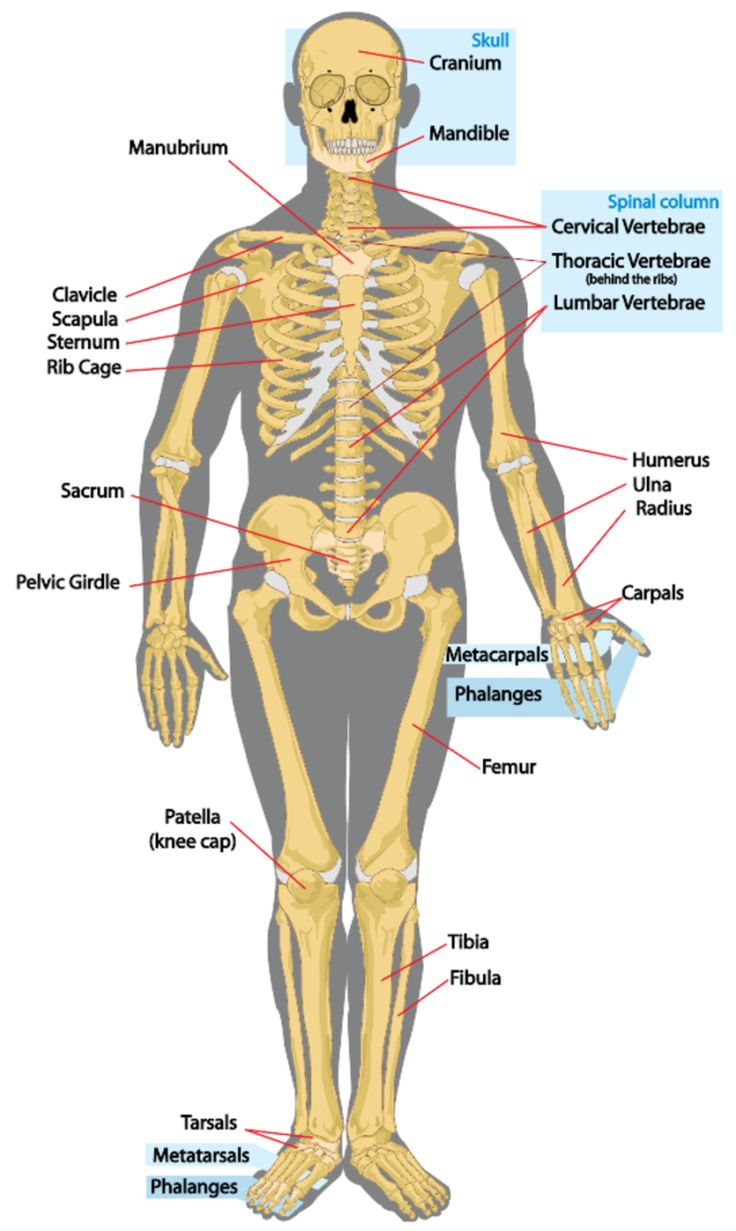 The Human Skeleton Labeled | Anatomy Picture Reference and Health News