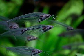 Glass Catfish | Kryptopterus vitreolus