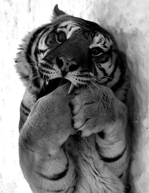tigre pates