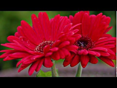 Youtube Gerbera Flower Planting Flowers Flowers