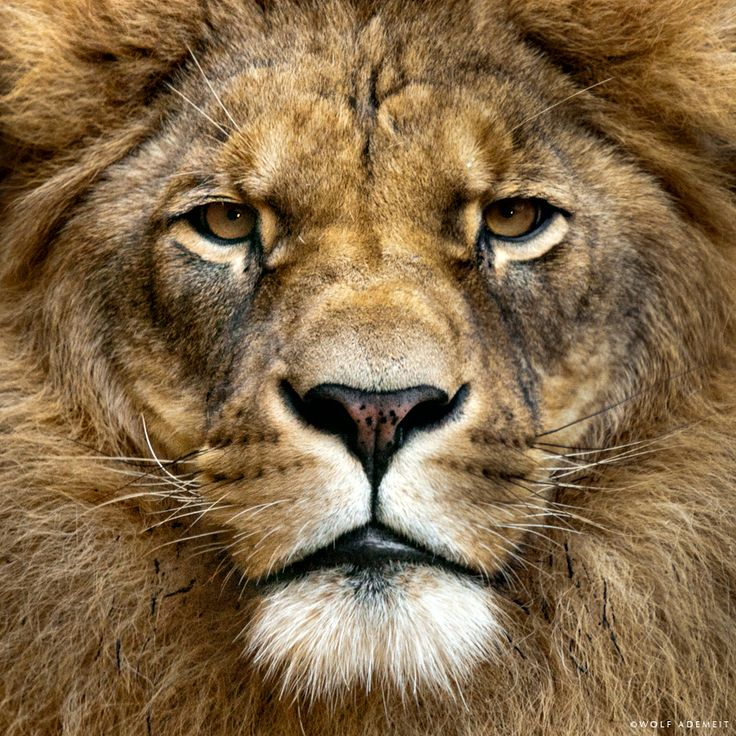 Close-up of a true lion king