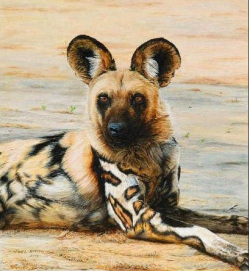 The African wild dog, also called Cape hunting dog or painted dog... What an amazing coat!!!